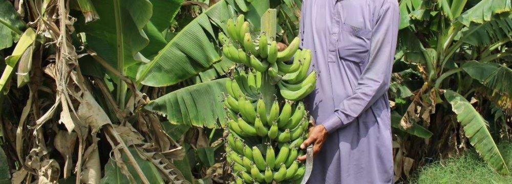 Banana Output at 90K Tons Last Year
