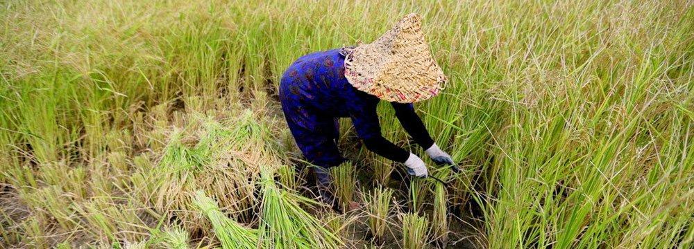 FAO Surveys New Plant Breeding Approach in Iran