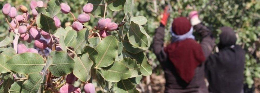 Kerman Pistachio Farmers' Losses Exceed $200m
