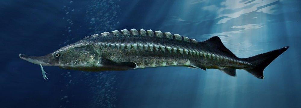 Sturgeon Fishing Ban in Caspian Sea Extended