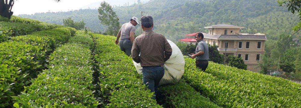 15% Rise in Domestic Tea Production