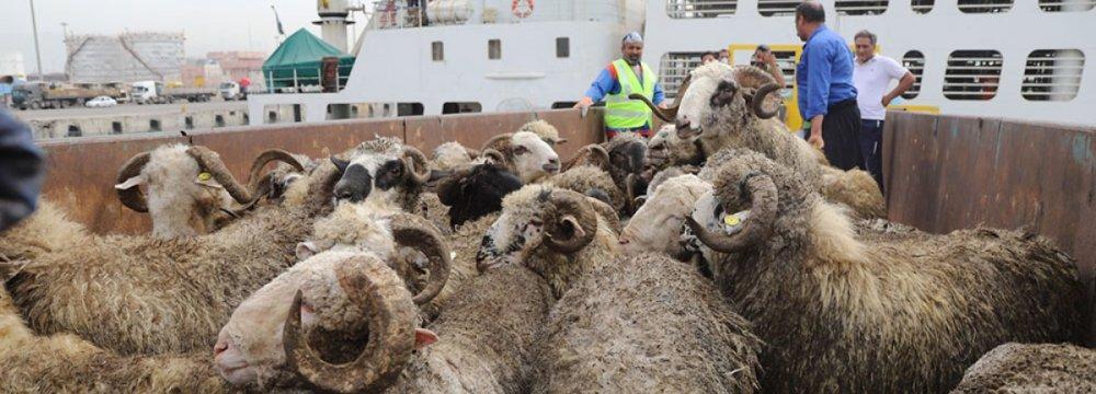Rise in Livestock Smuggling Into Iraqi Kurdistan