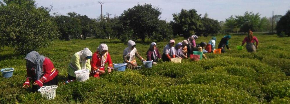 Q1 Tea Exports Top 1,600 Tons