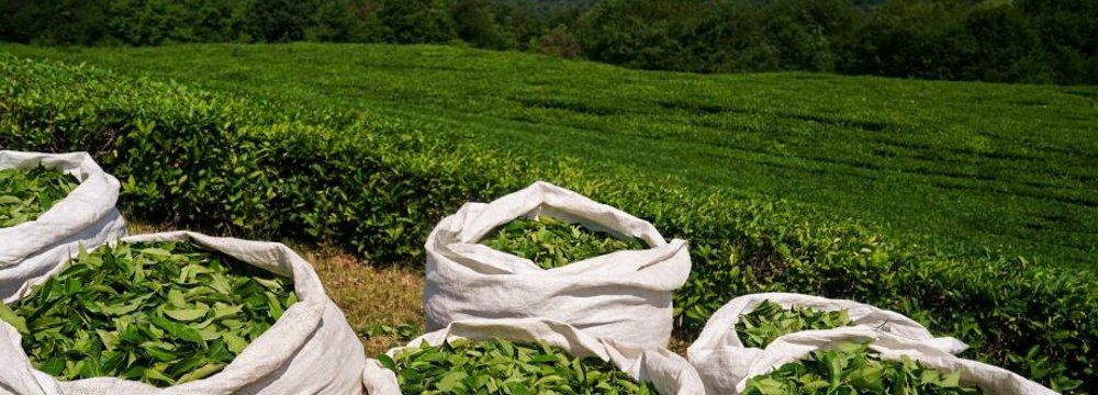 Tea Production Surges 16% as Harvest Continues
