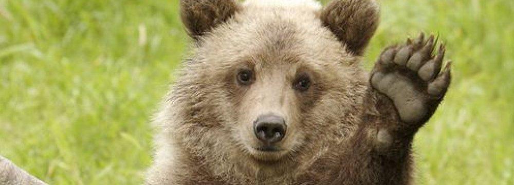 Bear Cub Dies in Car Crash