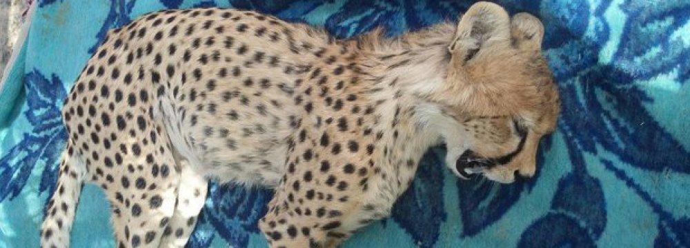Cheetah Cub Hit by Car