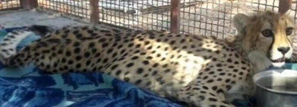 Asiatic Cheetah Cub Dies of  Injuries From Road Crash
