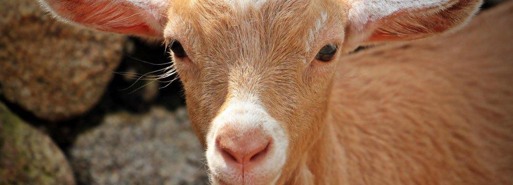 Virulent Plague Threatens  Wildlife, Livestock in Kerman