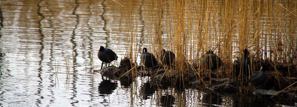 Zarivar Livens Up  With Migrating Birds