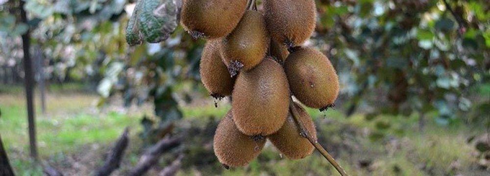 Iran Kiwi Exports From Northern Province Quadruple