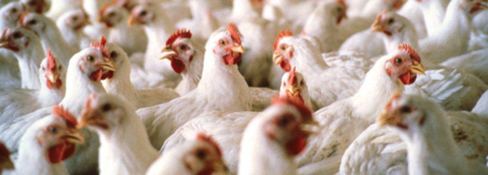 Chicken Exports