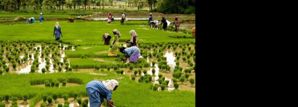 Indians Seeking to Resume Rice Export to Iran