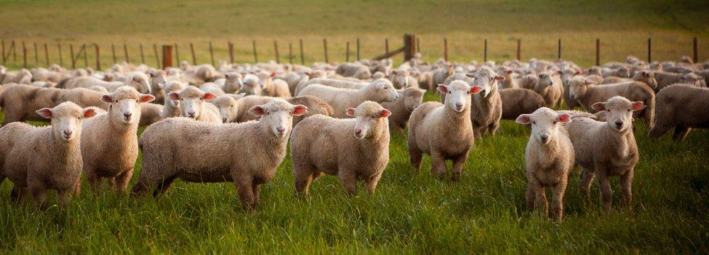 Australia Given Signal to Begin Sheep Exports