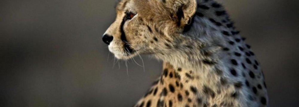 Asiatic Cheetah in Golestan Park