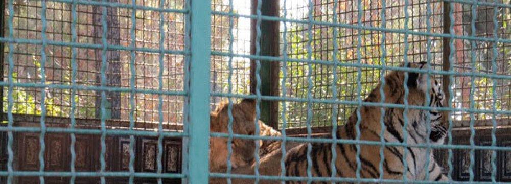 Breeding 'Tigon' Flayed