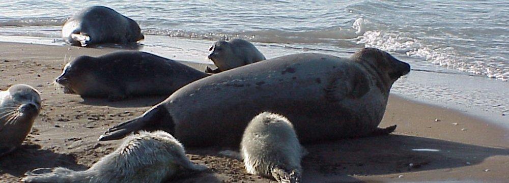 Save Caspian Seal Call