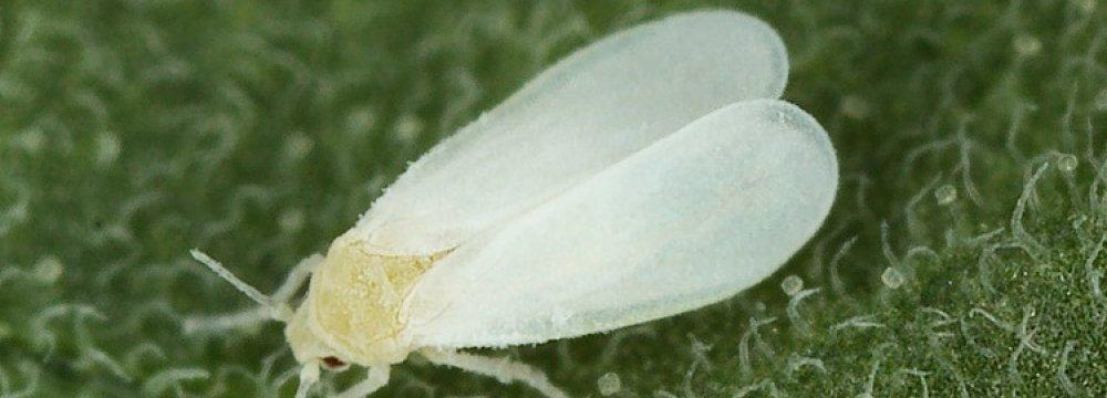 White Fly Harmless