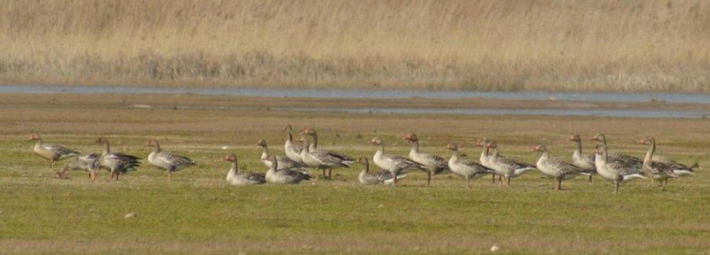 Grey Geese in Kani-Barazan