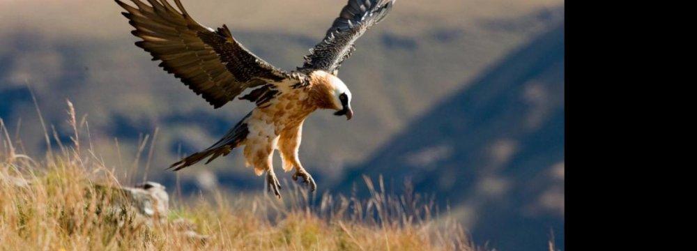 Homa the Bearded Vulture
