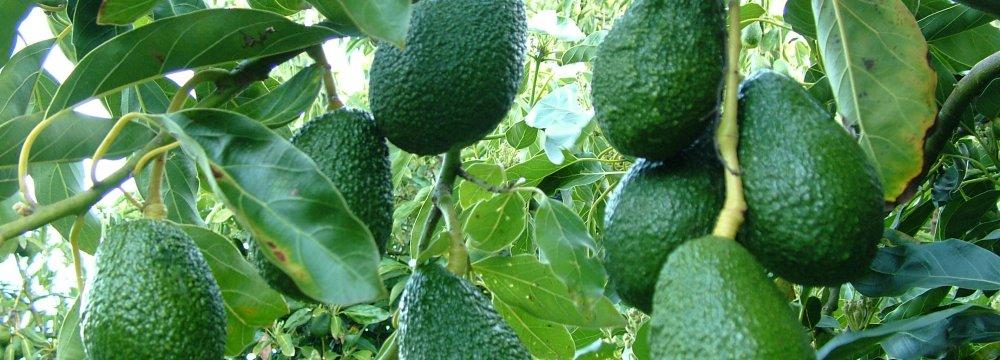 Avocado Cultivation Promising in Khuzestan, Fars