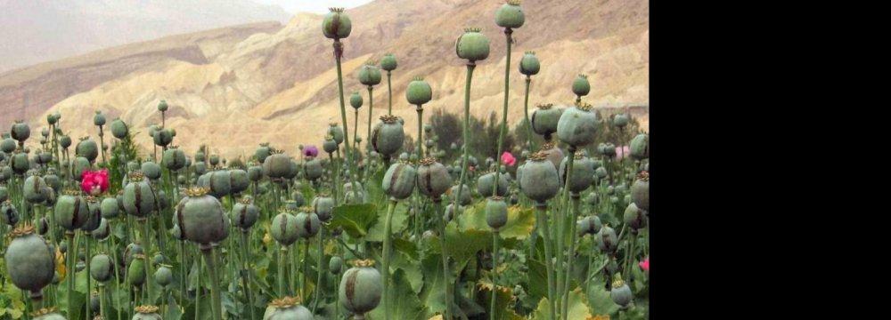 Afghan Poppy Boom  a Bane for Iran