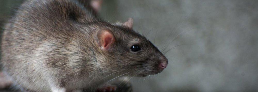 Rodent Population Declining