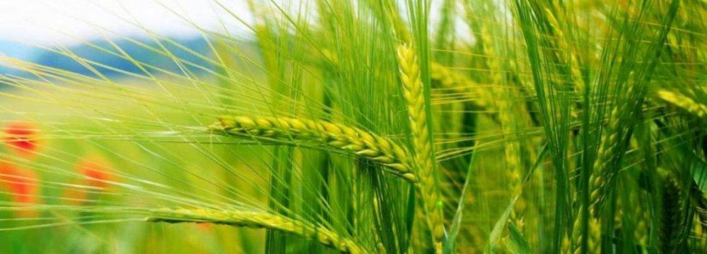 Autumn Wheat Planting