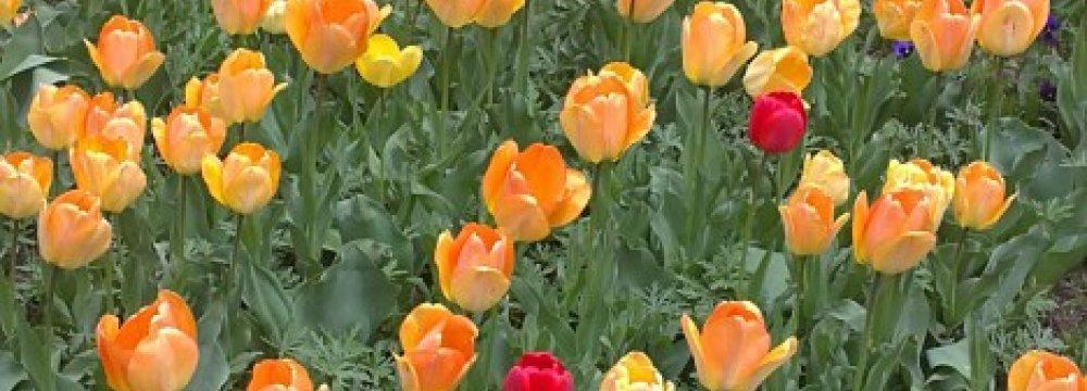 Annual Asara Tulip Festival in Late April