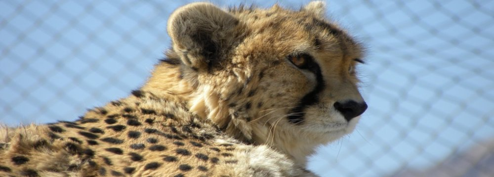 Asiatic Cheetah Breeding Efforts Underway