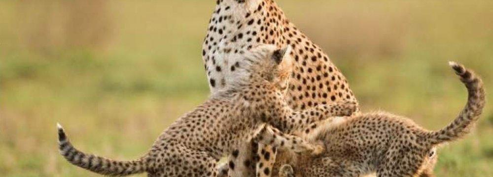 Tehran to Host Festival of Asiatic Cheetah