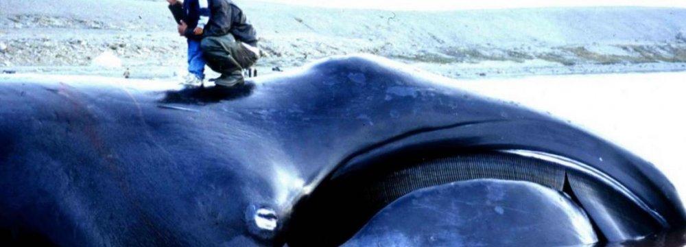 Iceland Whaling Season Begins Despite Protest