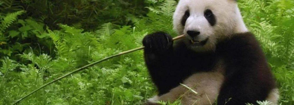 Illegal Logging Threatens China's Panda Habitat