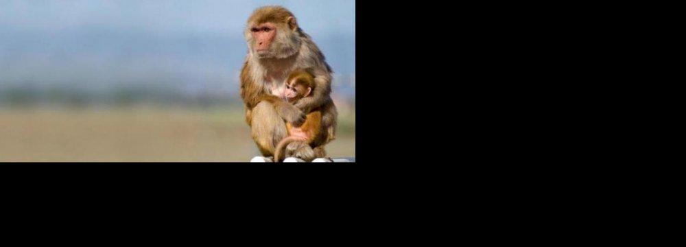 Smugglers, Substandard Facilities Kill Monkeys