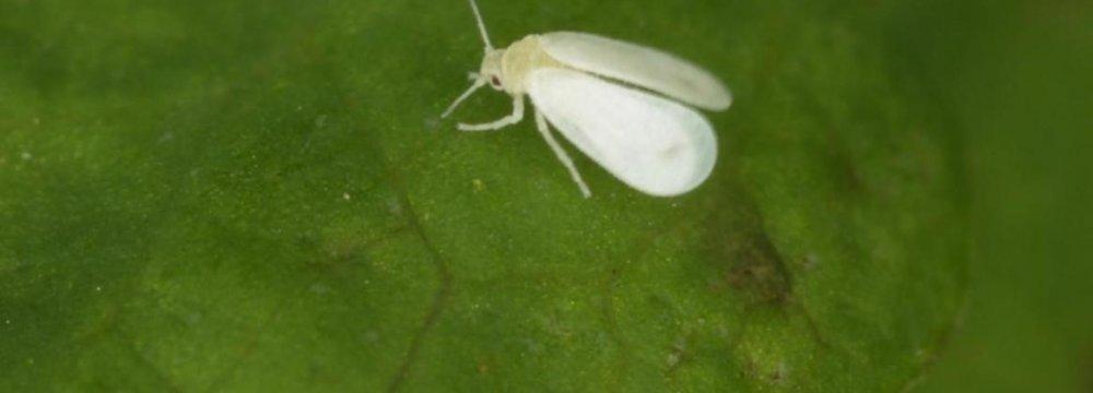 Whiteflies, Irritating But Harmless