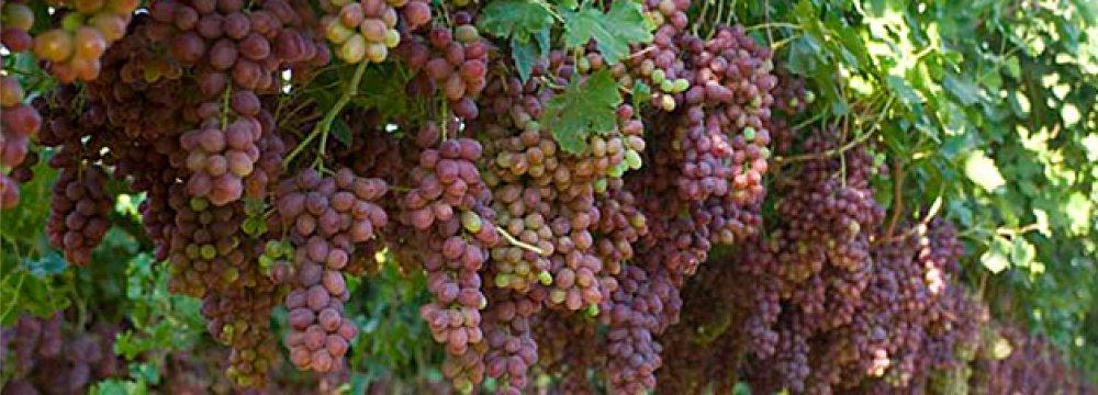 Iran 8th Biggest Grape Producer