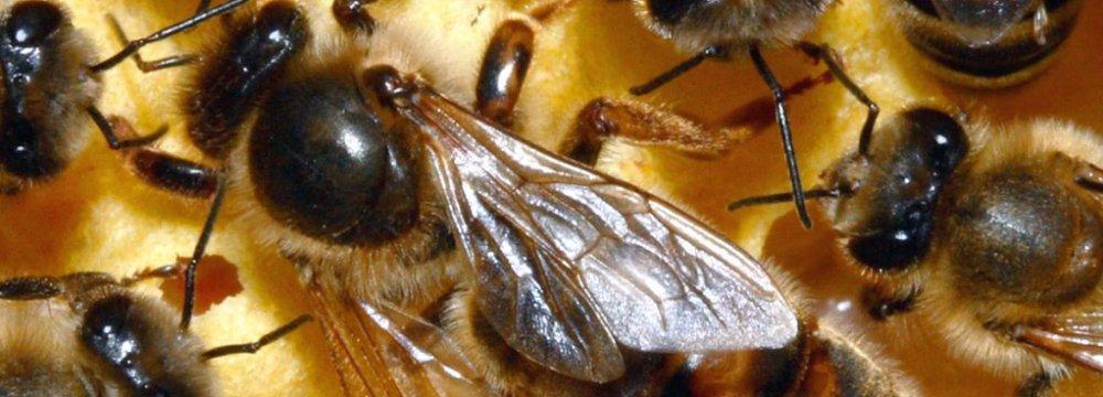 Queen Bee Distribution in Tehran