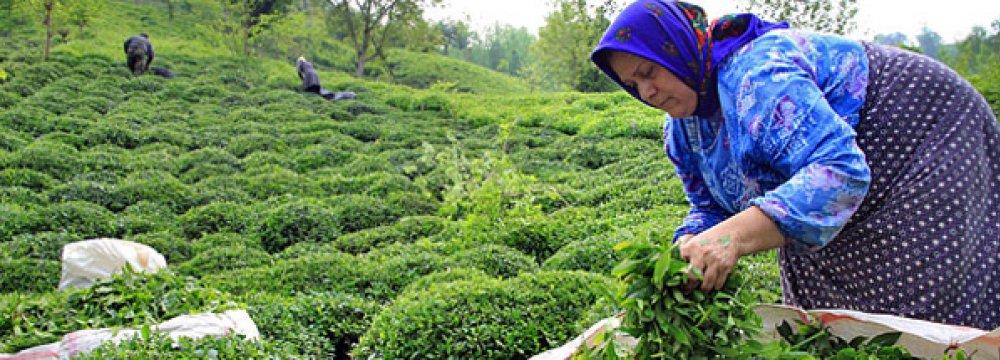 Tea Harvest Rises 9%