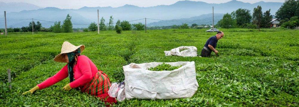 Gov't Buys $27m Worth of Fresh Tea