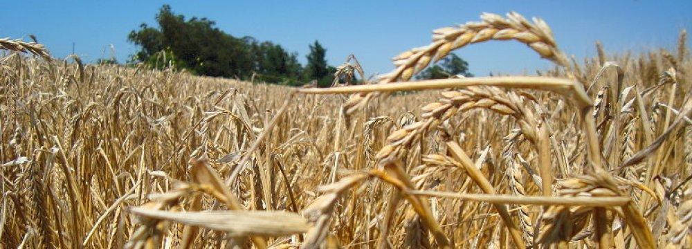 Wheat Cultivation Season Begins