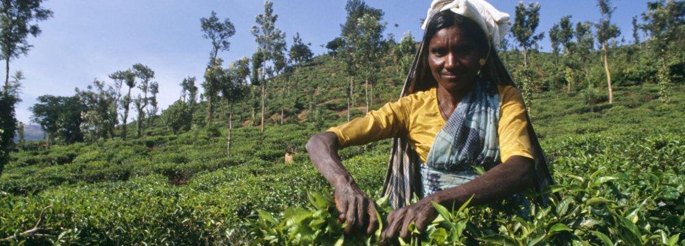 Indian Tea Exporters Cheer Exemption From American Sanctions on Iran