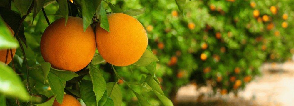 60% Rise in Mazandaran Citrus Fruit Exports