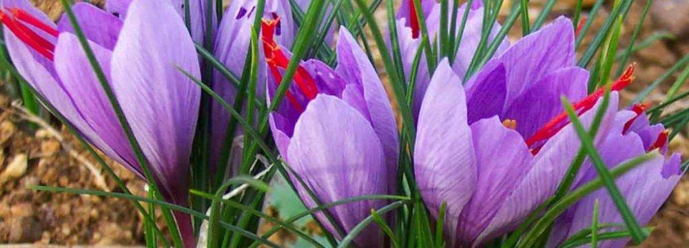 Iran produces 95% of saffron in the world.