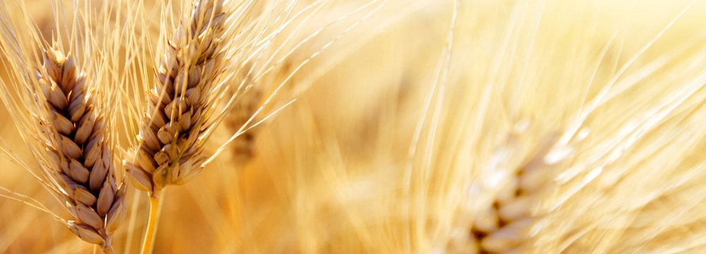 Gov't Begins Guaranteed Purchase of Wheat