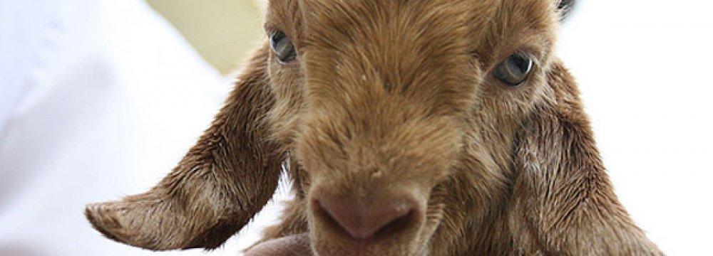 Iran's Royan Research Institute Clones Murciana Goat