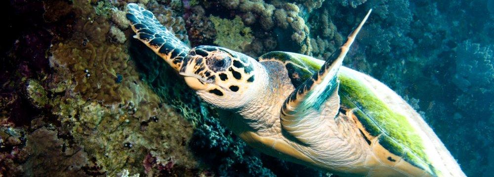 Hawksbill Turtles Begin Laying Eggs