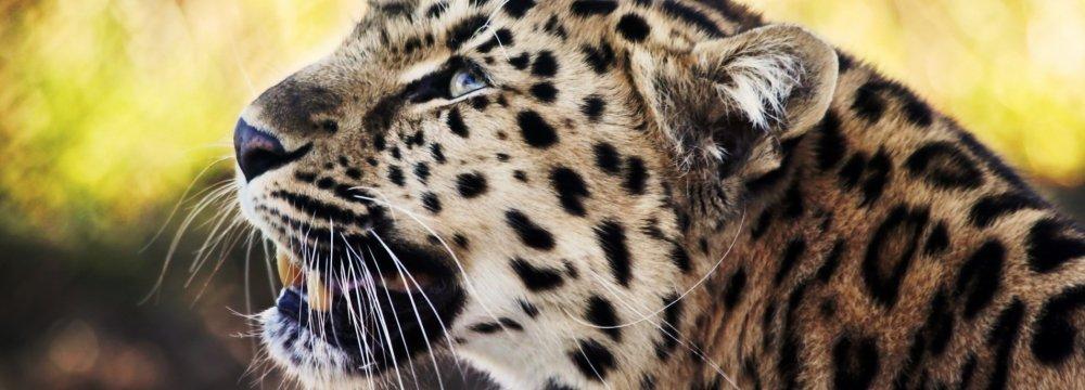DOE Probes Leopard Death Cover-Up Allegations