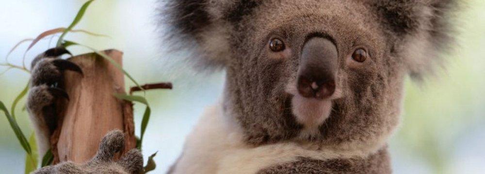 Australia Unveils $34m Plan to Save Koala