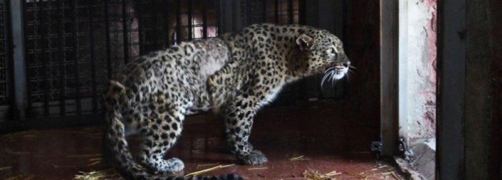 Persian Leopard Near Recovery