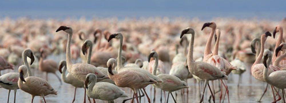 Miankaleh to Become Bird-Watching Hub