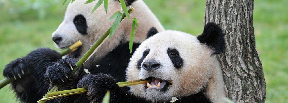 China Plans Giant Reserve for Endangered Pandas